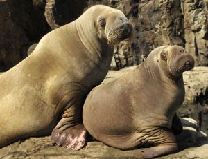 walruses-ny-aquarium-md